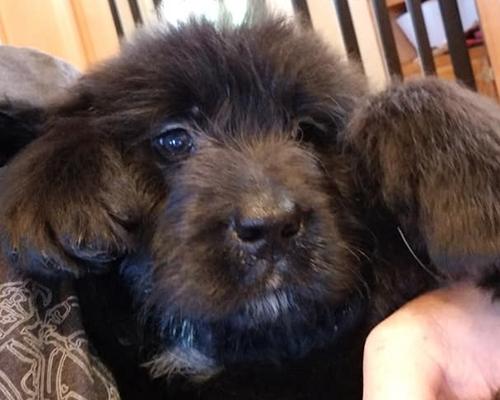 St. Berdoodle Pup